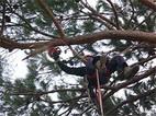 potatura-pino-in-tree-climbing